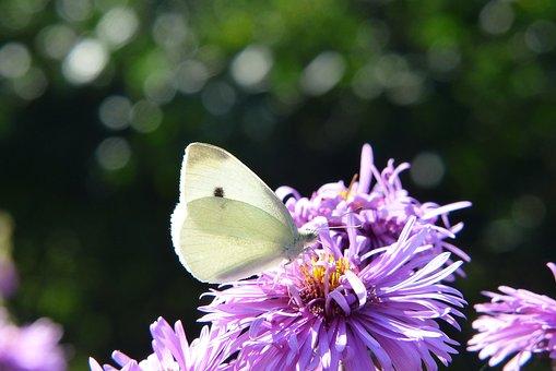 Bielinek Rzepnik, Insect, Butterfly Day, Flower