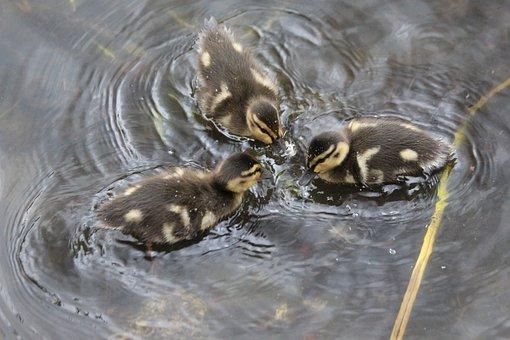 Ducklings, Anas Platyrhynchos, Duck, Young, Mallard