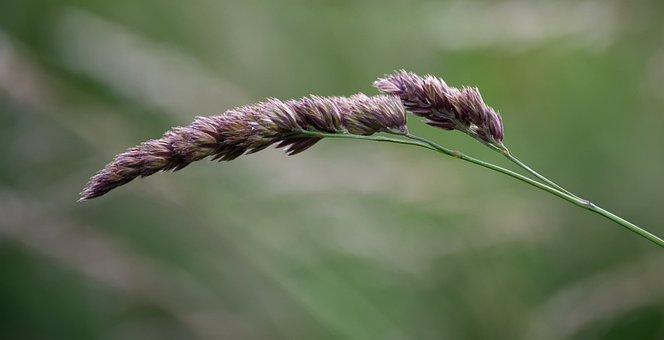 Grass, Blade Of Grass, Nature, Green, Meadow, Grasses