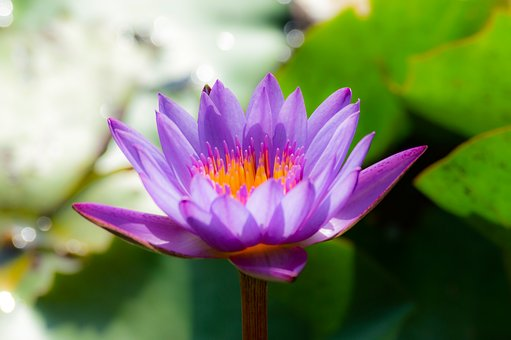Flower, Lotus, Nature, Summer, Green, Plant, Blossom