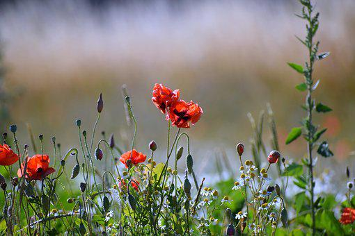 Meadow, Flowers, Red, Flower Meadow, Summer, Nature