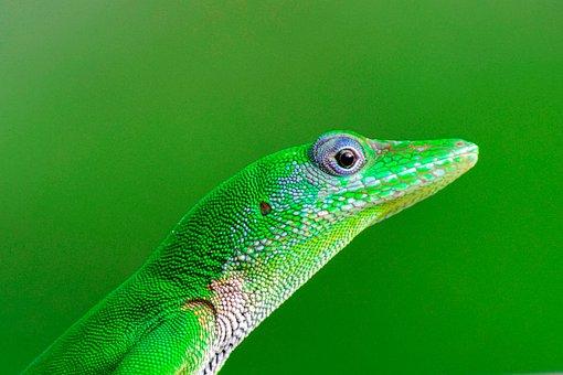Lizard, Reptiles, Green, Nature, Blue, Reptile