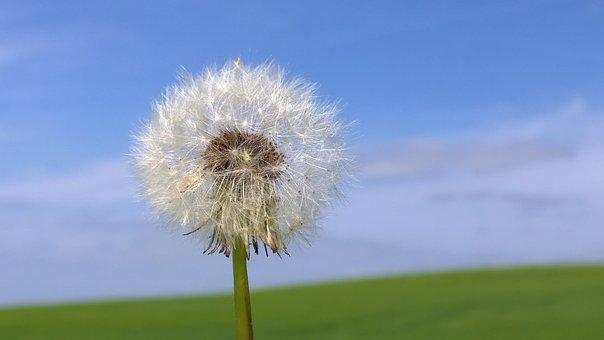 Dandelion, Flower, Nature, Seeds, Meadow, Fluffy, White
