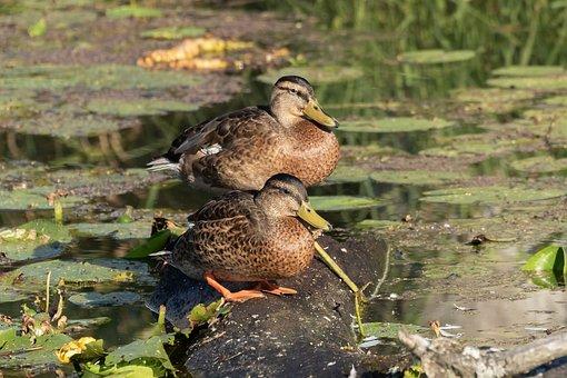 Mallards, Bird, Lake, Spring Lake, Nature, Animal