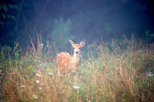 Deer, Animal, Nature, Mammal, Wild, Wildlife, Antlers