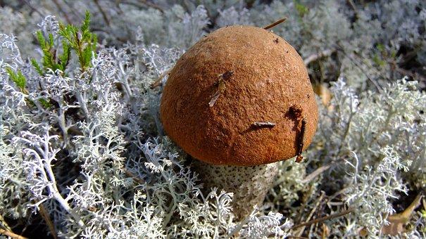 Mushroom, Orange-cap Boletus, Autumn, Forest
