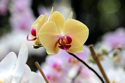 Orchid, Flowers, Phalaenopsis, Beautiful, Plants