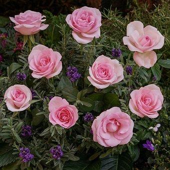 Roses, Lavender, Bellflower, Plant, Flower, Rosebush