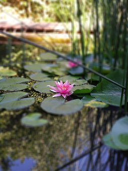 Water Lily, Pond, Garden Pond, Blossom, Bloom, Water