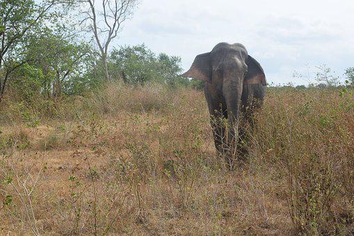 Elephant, Only, Isolated Form, Mammals, Portrait, Grass
