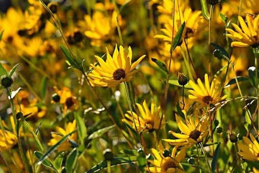 Rudbeckia, Flower, Plant, Blossom, Flower Bed, Garden