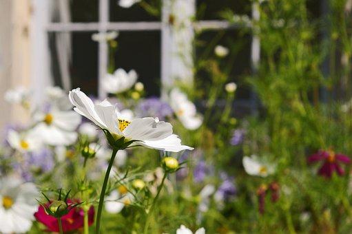 Cosmea, Summer Flower, Nature, Summer, Blossom, Bloom