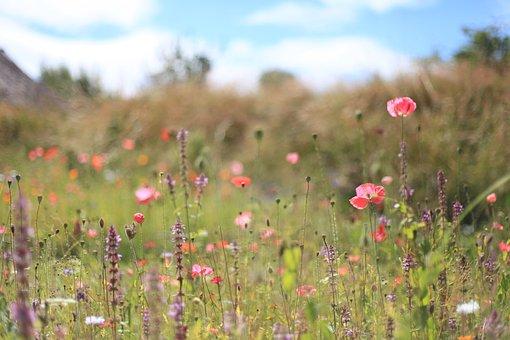 Wildflowers, Meadow, Summer, Summer Flowers, Grass