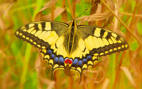 Swallowtail, Insect, Butterfly Day, Animals, Nature