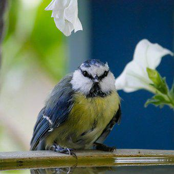 Animal World, Bird, Tit, Blue Tit, Thirst, Bird Bath