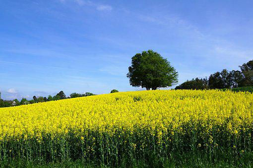 Zollikon, Field, Oilseed Rape, Tree, Switzerland