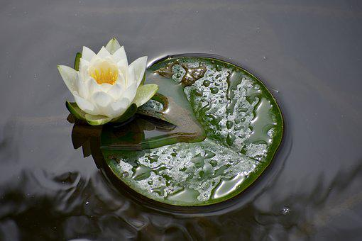Pond, Lily, Bloom, Flower, Nature, Water, Plant, Lotus