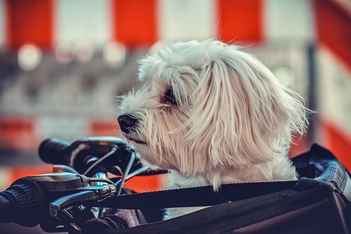 Dog, Maltese, Animal, White, Sitting, Bicycle Bag, Bike