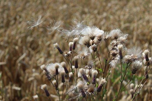 Thistles, Wind, Wild Flowers, Grass, Herbs, Wheat