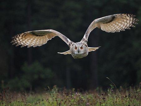 Bird, Animal, Owl, Owl Siberian, Flight, Wings, Beak