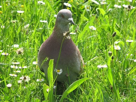 Bird, Pigeon, Grass, Nature, Dove, Animals, Wings