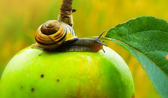 Wstężyk Huntsman, Snail, Molluscs, Apple, Sad, Animals