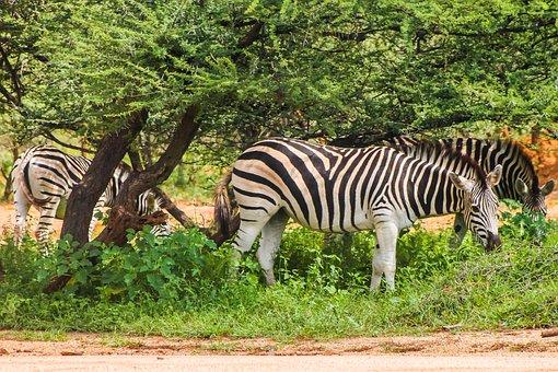 Zebra, Safari, Africa, Animal, Striped, Nature