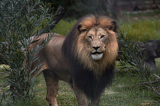 Lion, Safari, Africa, Nature, Animal, Predator, Fur