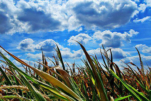 Heat, Dry, Corn, Cornfield, Landscape, Agriculture