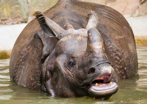 Animals, Rhino, Indian Rhinoceros, Thick Skin, Horn