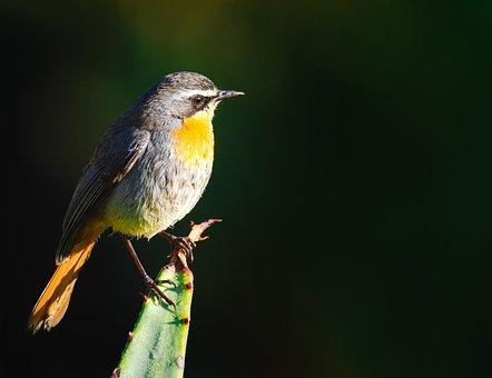 Cape Robin-chat, Bird, Avian, Nature, Animal, Wildlife