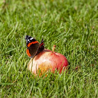 Butterfly, Summer, Nature, Insect, Wing, Garden, Apple