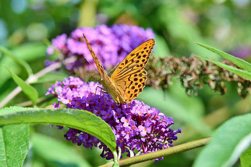 Butterfly, Large Fritillary, Color, Wing, Orange