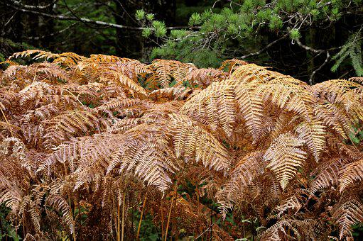 Ferns, Fall, Nature, Autumn, Plant, Leaves, Copper