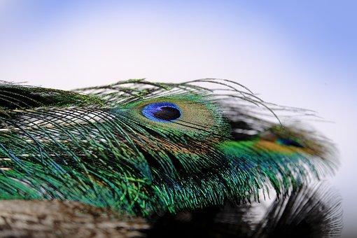 Peacock, Feather, Peacock Feather, Bird, Plumage