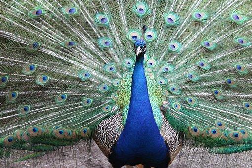 Peacock, Feather, Bird, Peafowl, Ritual Custom, Dancing