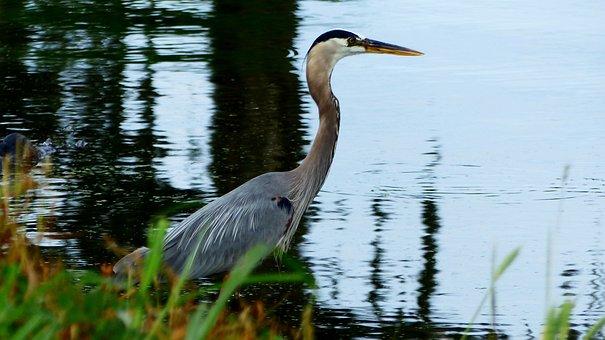 Bird, Fisherman, Nature Bayou, Louisiana, Marsh, Water
