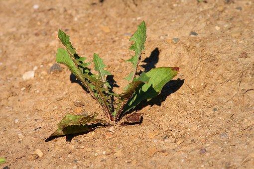 Plant, Drought, Dandelion, Dry, Environment, Flora