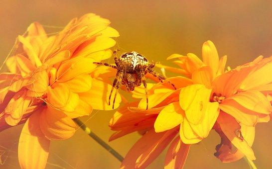 Crusader Garden, Female, Arachnids, Insect, Flower