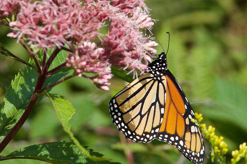Butterfly, Insects, Flower, Nature, Colorful, Orange