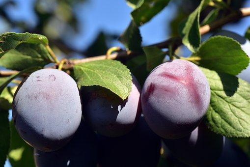 Plum, Plum Tree, Branch, Fruit, Fruit Tree, Tree