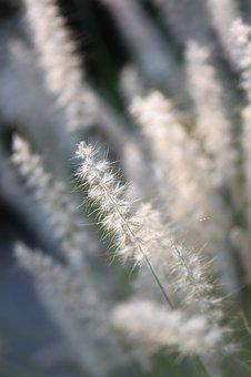 Ornamental Grasses, Grasses, Blade Of Grass, Summer