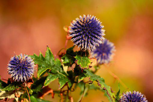 Great Globe-thistle, Flower, Plant, Sticky, Hairy