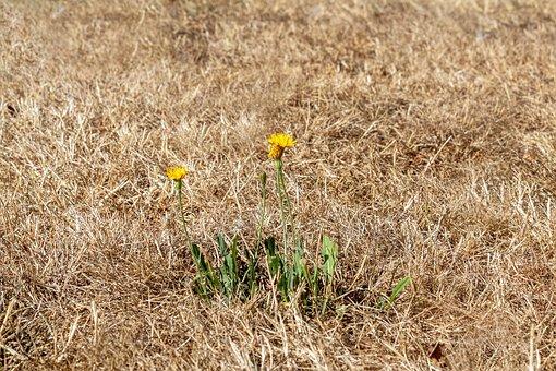Drought, Dry Grass, Heat Wave, Summer Heat, Yellow Lawn
