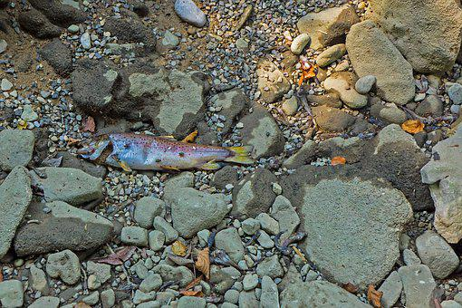 Drought, Lack Of Water, Heat, Fish, Dead Fish, Fish Die