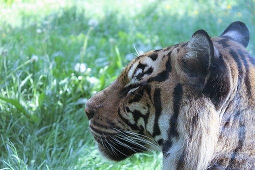 Tiger, Cat, Large, Predator, Fur, Striped, Zoo, Toronto
