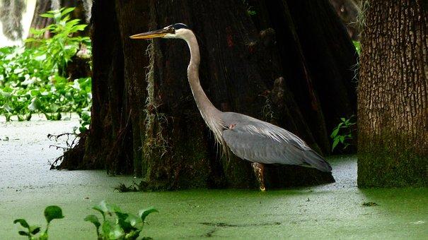 Bayou, Bird, Marsh, Louisiana, Wild, Plumage, Sinner