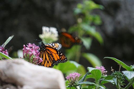 Monarch Butterfly, Animals, Zoo, Butterfly, Monarch