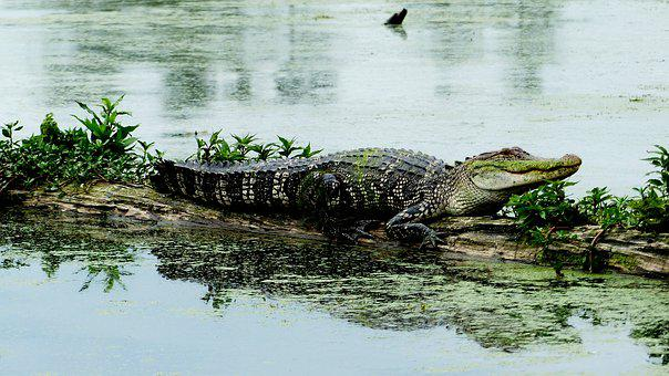 Bayou, Louisiana, Alligator, Marsh, Predator, Nature