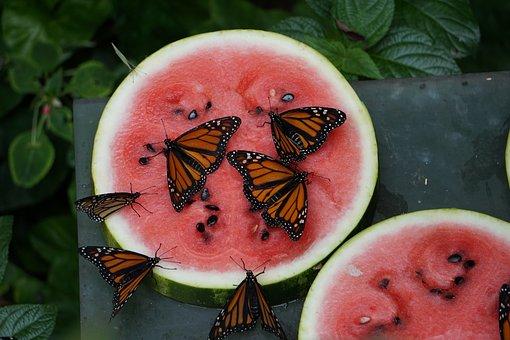Monarch Butterfly, Nature, Wings, Butterfly, Monarch